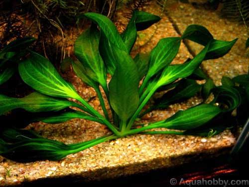 Echinodorus_portoalegrensis_1.jpg