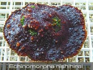 Echinomorpha-nishihirai-300x225.jpg