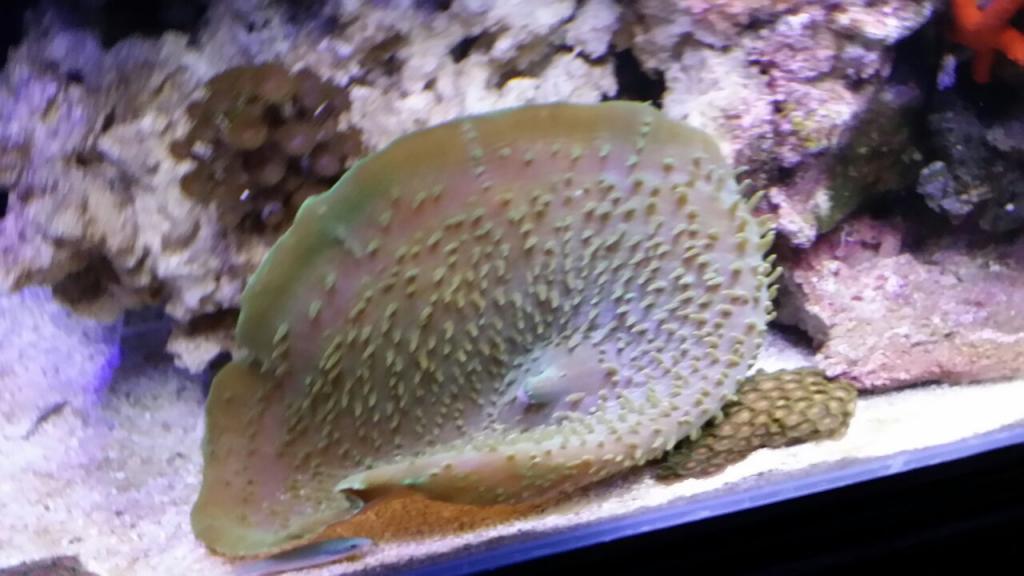 elephant ear coral R200.jpg