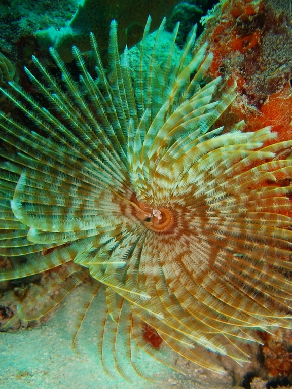 Feather_duster_worm_zpse0870bd4.jpg
