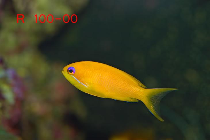 FemaleAnthias.jpg