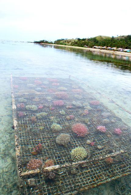 fiji-coral-farm.jpg