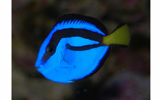 finding-dory-blue-hippo-tang.png