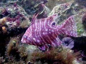 FlHogfish.jpg