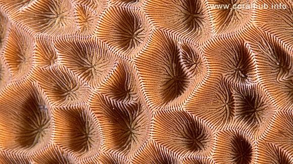 Gardineroseris-planulata.jpg