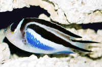 Genicanthus_bellus__female__11cm_from_the_Philippines.jpg
