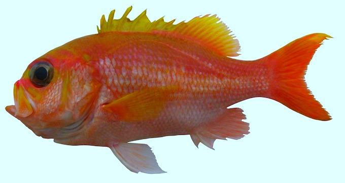 Giganthias-serratospinosus1.jpg