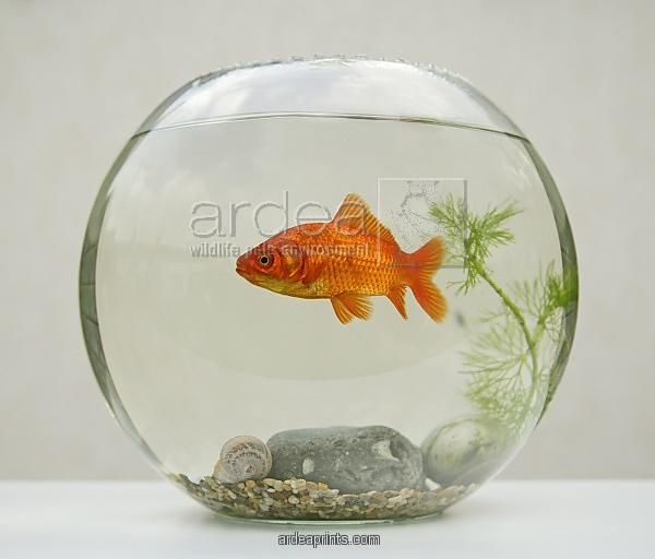 goldfish-in-goldfish-bowl-with-weed_645258.jpg