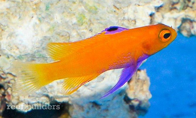 gramma-dejongi-cuba-reef-fish-1.jpg