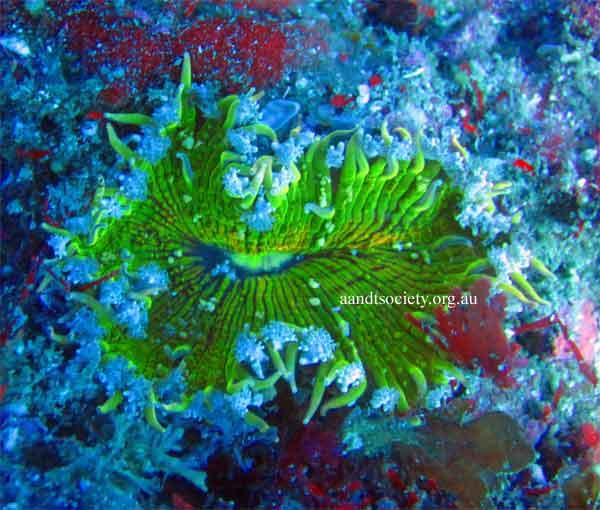 green-anemone-.jpg