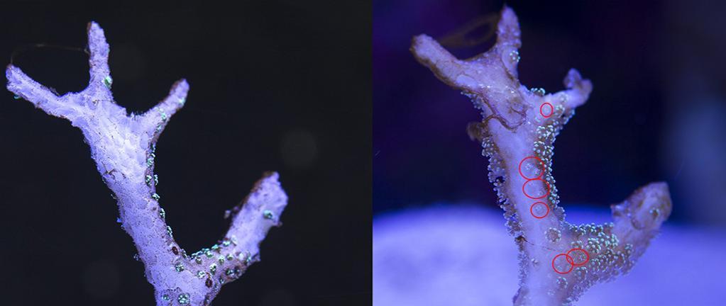 GREEN BIRDSNEST CORAL Seriatopora guttatus (03-04-2014) before and after.jpg