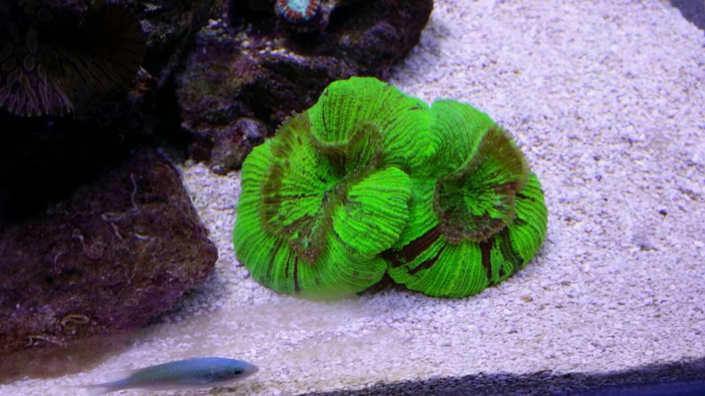 green brain coral R350.jpg