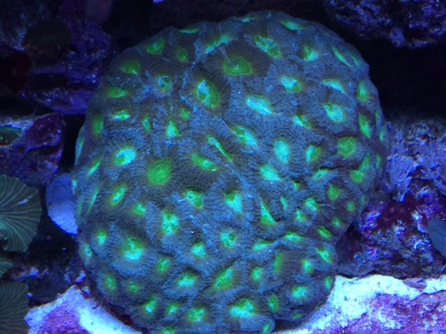 Green pineapple.JPG
