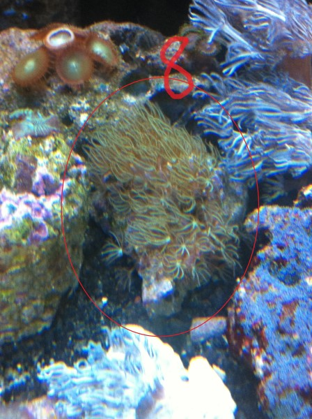 GREEN STAR POLYPS 8.jpg