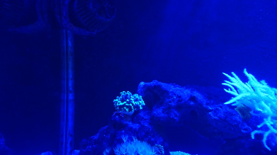 Hammer Coral.jpg