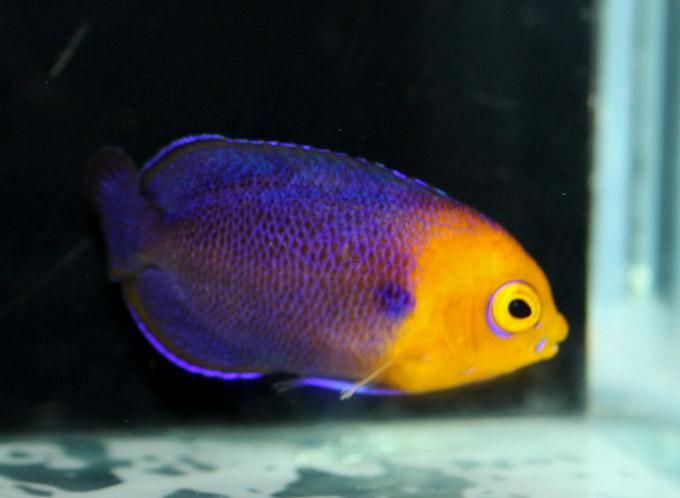 hawaiian-cherub-angelfish-1.jpg