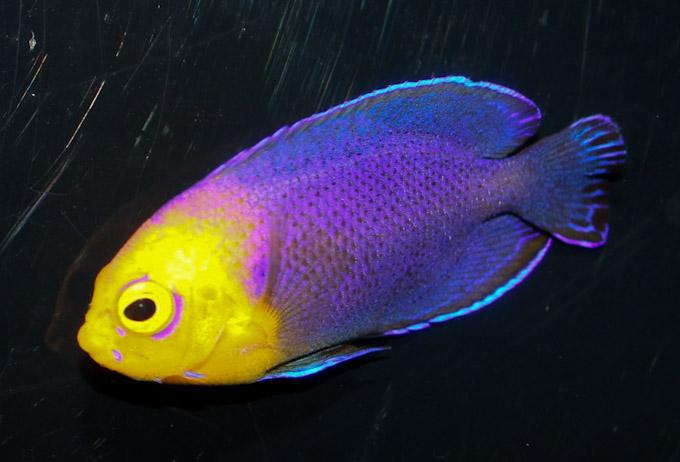 hawaiian-cherub-angelfish-2.jpg