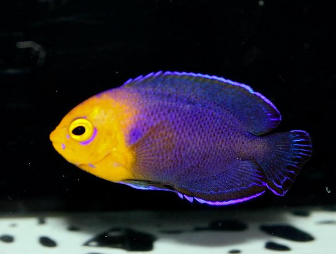 hawaiian-cherub-angelfish-3.jpg