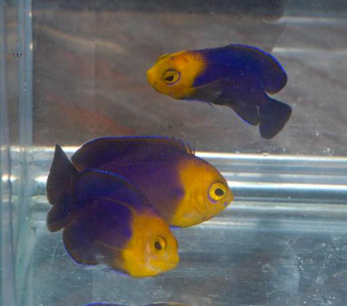 hawaiian-cherub-angelfish-4.jpg