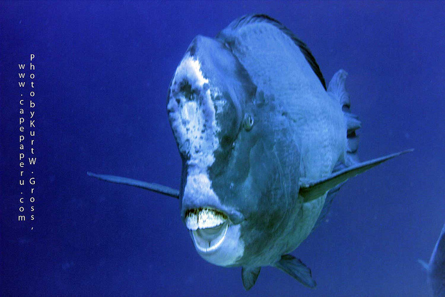 humphead-parrotfish1.jpg