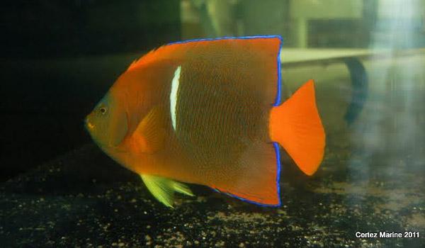 hybrid-clarion-passer-angelfish-3.jpg