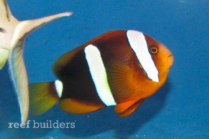 hybrid-tomato-clarki-clownfish-hybrid.jpg