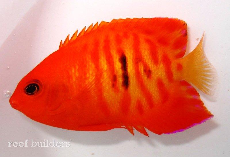 hyper-red-flame-angelfish.jpg