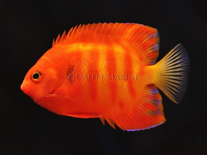 hypo-flame-angelfish-1.jpg