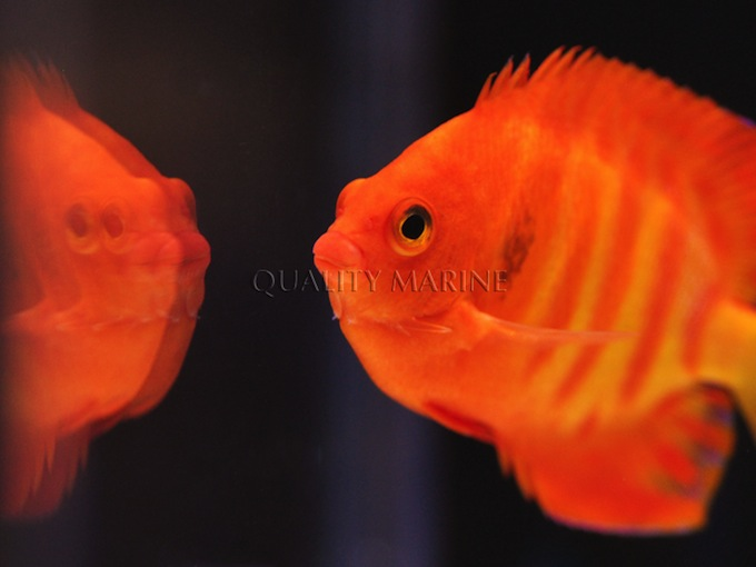 hypo-flame-angelfish-2.jpg