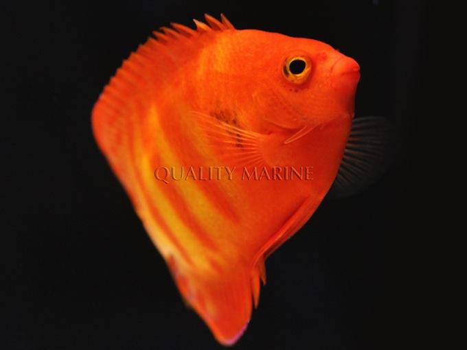hypo-flame-angelfish-3.jpg