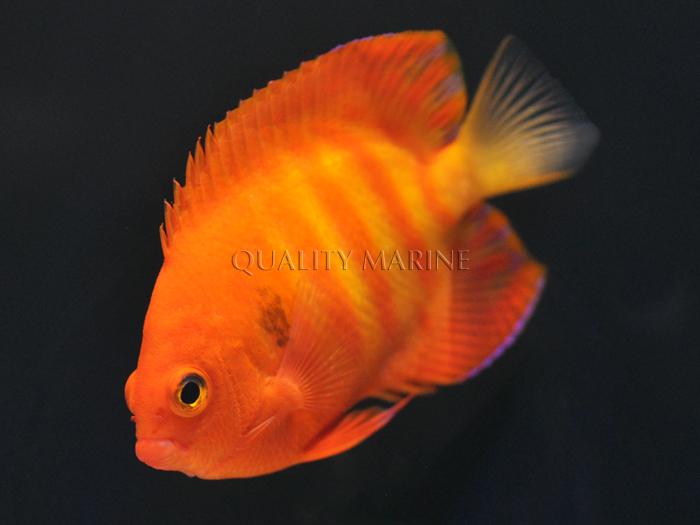 hypo-flame-angelfish-5.jpg