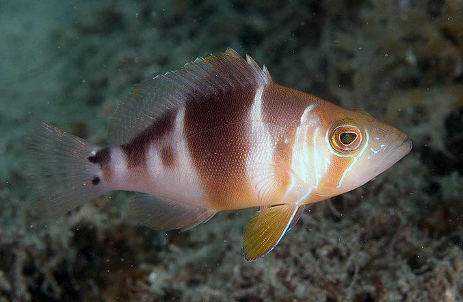 hypoplectrus-floridae1.jpg
