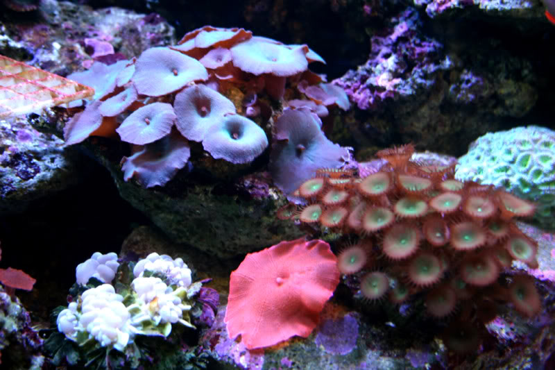 Easy Soft Corals For Your Reef Tank Marine Aquariums