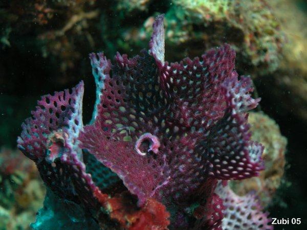 Iodictyum-sanguineum1.jpg