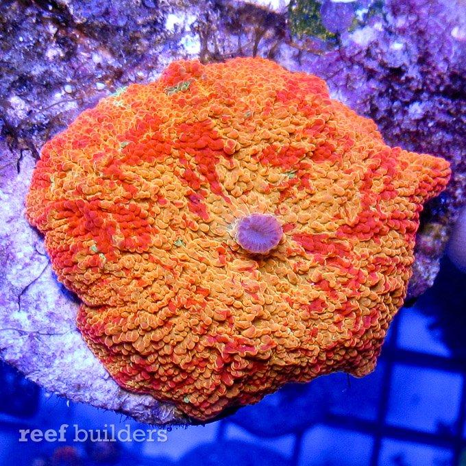 jawbreaker-mushroom-anemone-2.jpg