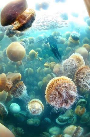 jellyfish-nomura-invasion.jpg