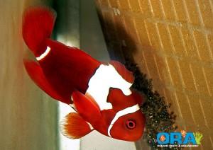 jigsaw-maroon-clownfish-300x212.jpg