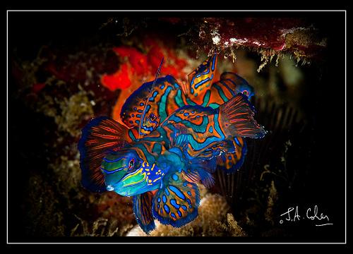 julian-cohen-lembeh-mandarin-fish.jpg