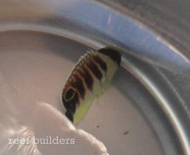 kingi-angelfish-juvenile-3.jpg