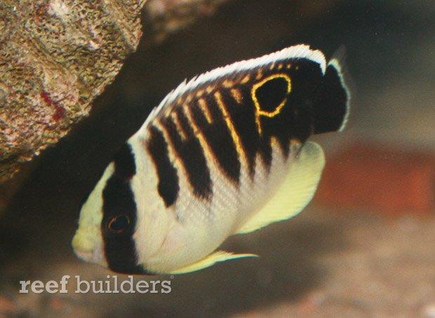 kingi-angelfish-juvenile-4.jpg
