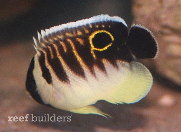 kingi-angelfish-juvenile-5.jpg