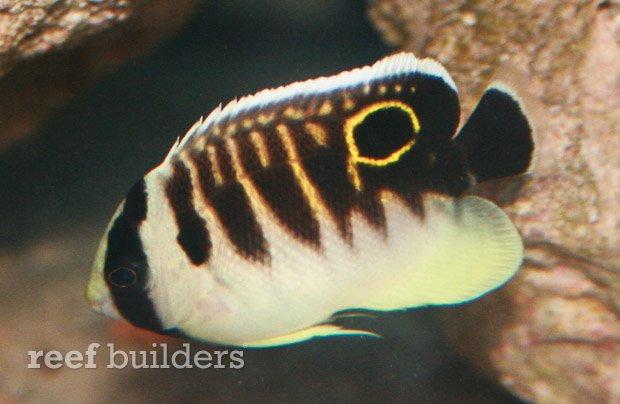 kingi-angelfish-juvenile-6.jpg