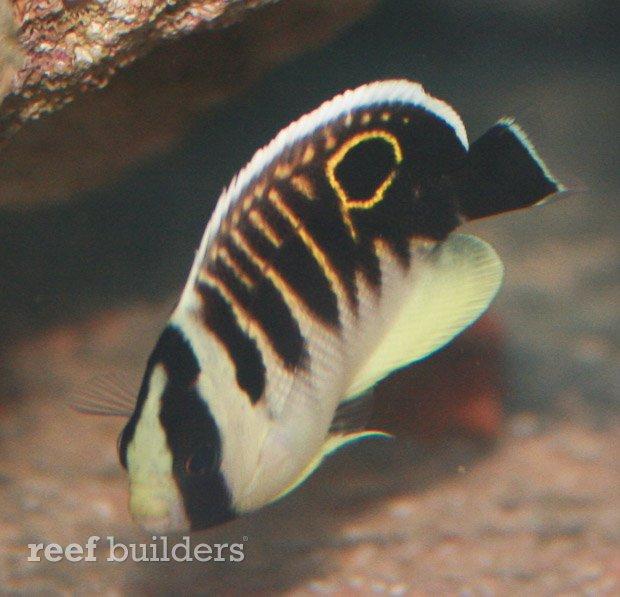 kingi-angelfish-juvenile-7.jpg