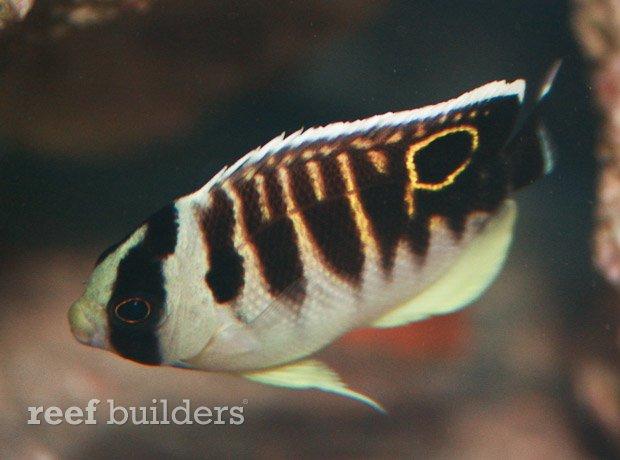 kingi-angelfish-juvenile-8.jpg