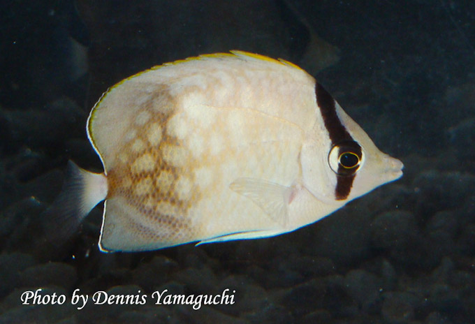 Klein-butterflyfish-hybrid-1.jpg