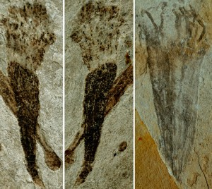 lantian-fossil-holdfast-zhe-chen-nature-300x268.jpg