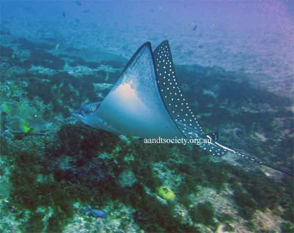 large-eagle-ray-.jpg
