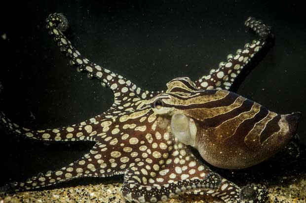 larger-pacific-striped-octopus-2.jpg