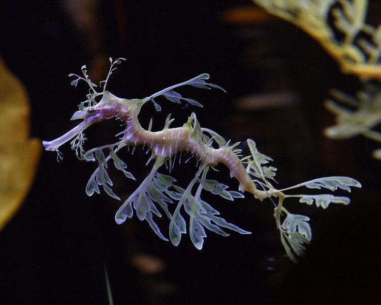 Leafy_sea_dragon_Shedd_Aquarium.jpg