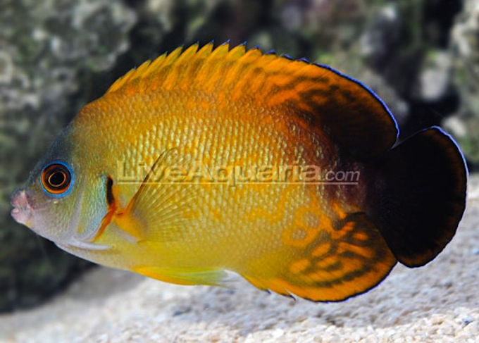 lemonpeel-halfblack-angelfish-hybrid.jpg